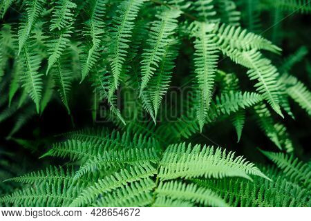 Beautyful Ferns Leaves Background. Green Foliage Natural Floral Pattern. Selective Focus