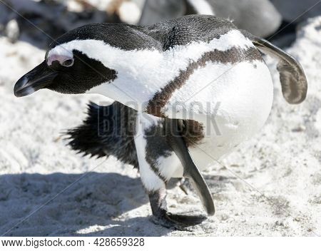 The Penguin Is Bent Over On A Sandy Beach In Sea Water. A South African Penguin In Close-up While Cl