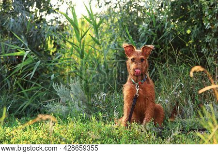 Gorgeous Beautiful Purebred Young Funny Obedient Hunting Dog Puppy Irish Terrier Breed Sits On The N
