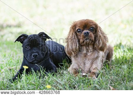 Puppy Staffordshire Bull Terrier And Cavalier King Charles Free In A Garden