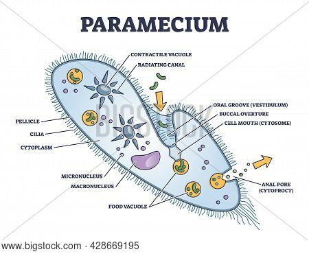 Paramecium Microscopic Closeup Structure With Anatomical Outline Diagram. Educational Labeled Scheme