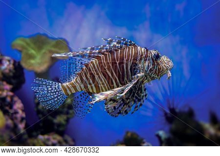 Red Lionfish - Pterois Volitans Or Zebrafish Is A Venomous Coral Reef Fish In The Family Scorpaenida