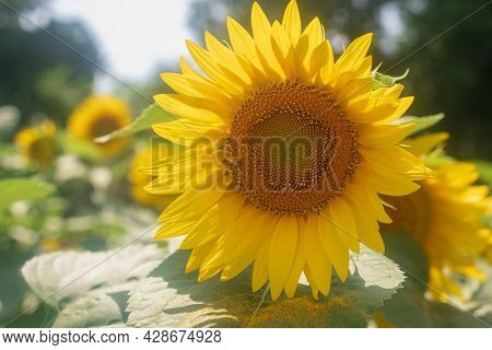 Wild Bee On Flower With Nectar Sunflower In Field Countryside
