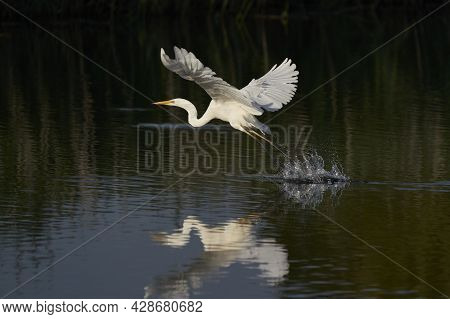 Great White Egret (ardea Alba) Flying Across A Lake At Ham Wall In Somerset, United Kingdom.