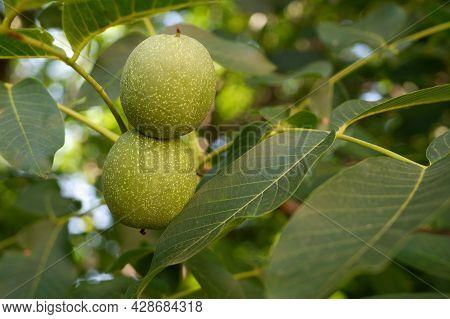Green Walnuts Among The Foliage On The Tree. Nuts Grow On A Tree. Two Walnuts Growing Among The Foli