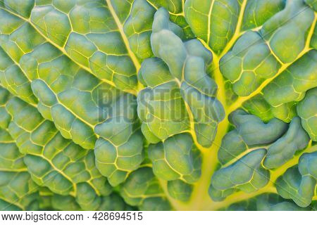 Savoy Cabbage Leaf Close Up. Textured Bumpy Wrinkled Surface. Natural Green And Yellow Background Or