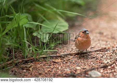Chaffinch In The Forest In Its Habitat, A Small Forest Songbird With Reddish Plumage Sits On The Gro