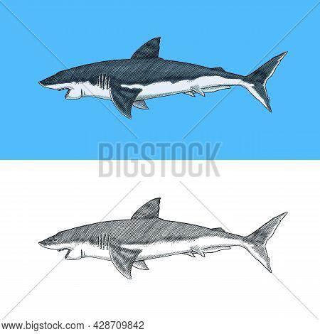 Great White Shark Or Mackerel Shark. Marine Predatory Animal. Sea Life. Hand Drawn Vintage Engraved