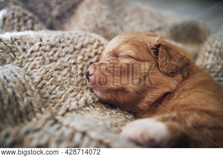 Cute Dog Sleeping On Blanket At Home. Purebred Puppy Of Nova Scotia Duck Tolling Retriever.