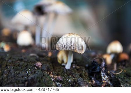 A Group Of Porcini Mushrooms Growing On A Tree Stump. White Bad Mushroom Close-up On A Blurred Backg