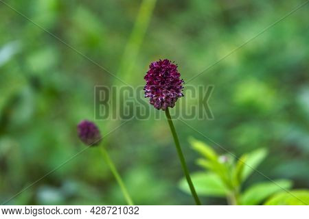 Beautiful Red Summer Meadow Flowers Close Up. Sanguisorba Officinalis Flowers.
