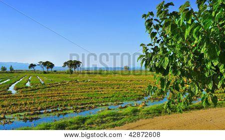view of a paddy field in Delta del Ebre, in Catalonia, Spain