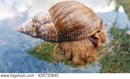 A Huge Snail Crawls On The Glass, Which Reflects The Clouds And The Sky. The Largest Land Mollusk