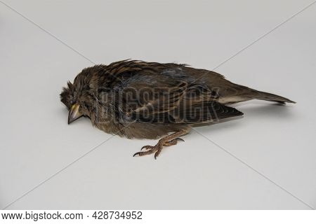 A Dead Sparrow Lies On The Side Of The Road Against A Background Of Grass. The Bird Died From The Di