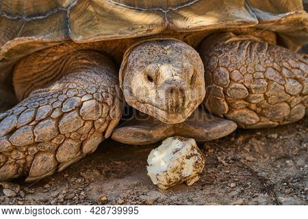 Huge Turtle. A Large Animal In The Wild. The Sea Turtle Crawled Out Of The Sea.