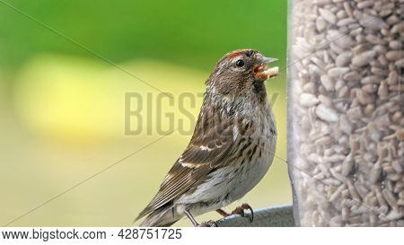 Lesser Redpol Feeding From A Feeder At A Bird Table