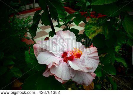 Hibiscus Rosa-sinensis    Love Of Beauty Is Taste. The Creation Of Beauty Is Art