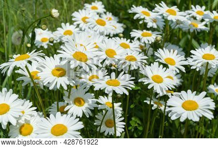 Field Of Daisies. Selective Focus. Matricaria Recutita Is A Plant Widely Used For Medicinal And Cosm