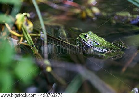 Edible Frog, Pelophylax Esculentus Also Known As Common Water Frog Or Green Frog, European Dark-spot