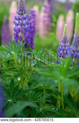 Blooming Macro Lupine Flower. Lupine Field With Pink Purple And Blue Flower. Bunch Of Lupines Summer