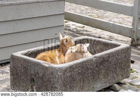 Two Little Goats On The Farmyard.  Animal On The Farm