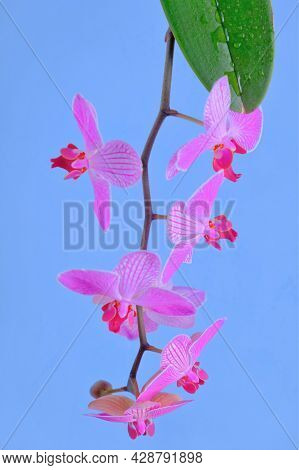 Orchid Flower. Pink Orchid Branch.pink Orchid Branch On Blue Background