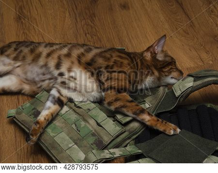 Domestic Bengal Cat (kitten) During Estrus Caresses, Rubs His Head (muzzle) On The Sports, Military