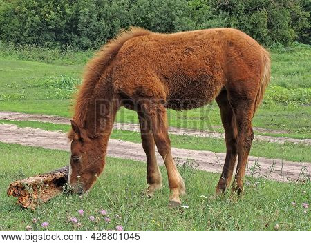 The Foal Of A Bay Horse (equus Ferus Caballus) Grazing In A Clearing