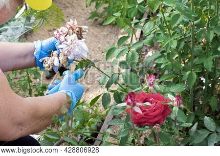 Hands Of Elderly Woman In Gloves Are Cutting Off Wilted Rose Flowers On Her Bush In Garden With Prun