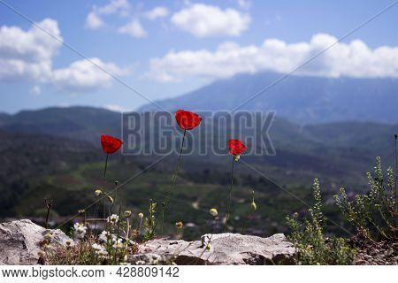 Three Red Poppies Bloom In A Fortress In Berat (albania) Against The Backdrop Of City Houses. Beauti