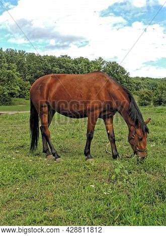 A Bay Horse (equus Ferus Caballus) Grazing In A Clearing
