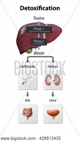 Detox Pathways Explained. From Entering Toxins In Liver To Neutralize And Eliminated Via Kidneys And