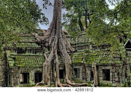 Strom rostoucí mimo chrámu Angkor Wat