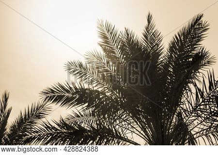 Tropical Tourism Paradise Palms In Sunny Summer Sun Yellow Sky. Sun Light Shines Through Leaves Of P