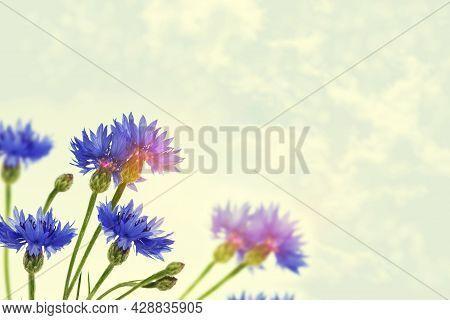 Cornflower. Bright Colorful Cornflower Flower Knapweed, Centaurea. Outdoors