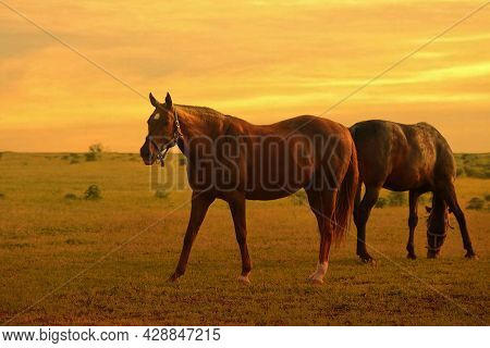 Two Horses Graze In A Paddock At Sunset In Summer