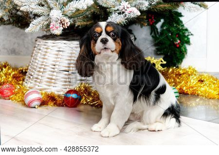 Cavalier King Charles Spaniel Stands On The Background Of The Christmas Tree.