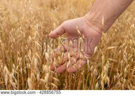 A Man's Hand Gently Touches The Golden Ripe Ears Of Oats On The Oat Field. Harvest Time. Selective F