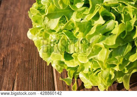 Fresh Green Lettuce Leaves. Luscious Greens For Lunch. Healthy Nutrition Concept.