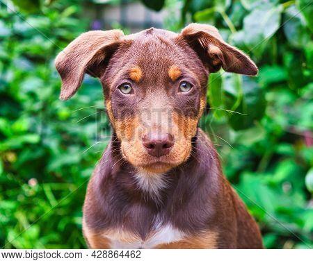 Australian Kelpie Pup At Eight Weeks Old
