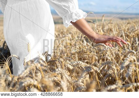 Unrecognizable Woman Gently Touches Growing Wheat At Golden Sunset. Carefree Female Walking Along A