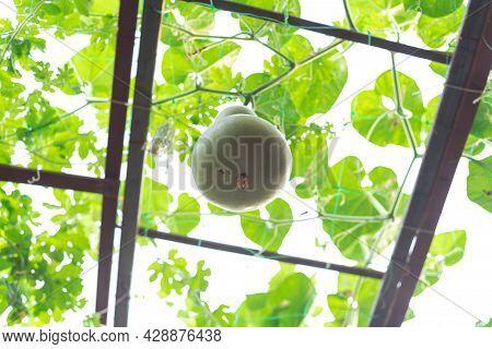 Birdhouse Gourd Hanging On Vines At Organic Backyard Garden Near Dallas, Texas, Usa