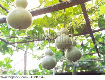 Many Birdhouse Gourds Hanging On Vines At Organic Backyard Garden Near Dallas, Texas, Usa