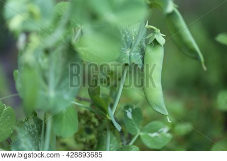 Green Peas Pods. Organic Farm Peas. Fresh Bio Green Vegetables.green Peas Pods On Blurred Vegetable