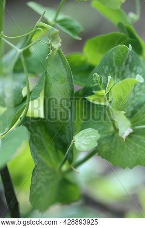 Green Peas Pods. Organic Farm Peas. Fresh Bio Green Vegetables.. Growing Organic Vegetables