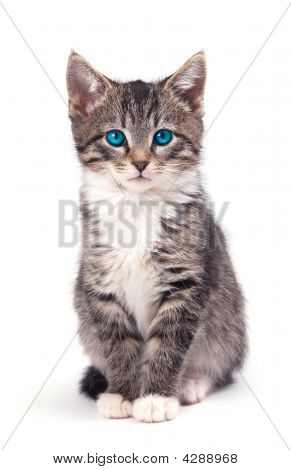 Aqua Eyed Tabby Kitten With Large Ears.