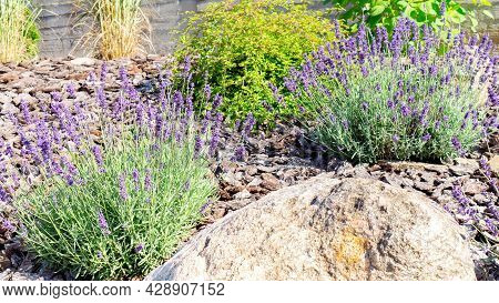 French Lavender In The Provencal Garden. Lavender Bushes Close Up. Provencal Lavender In Garden Land
