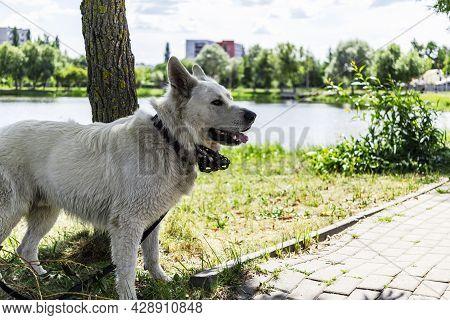 Swiss Shepherd Dog, On The Background Of The Lake. Guardian Dog. Anatolian Shepherd Dog Sivas Kangal