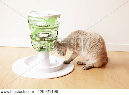 Playful Devon Rex Cat Is Touching And Punching Dry Food With Paw. Interactive Cat Toy Slow Feeder- I