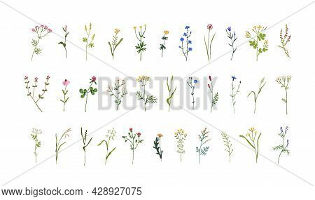 Set Of Field And Meadow Wild Flowers. Botanical Design Elements Of Blooming Wildflowers With Leaves.